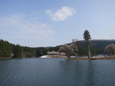 中子の桜4