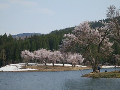 中子の桜5
